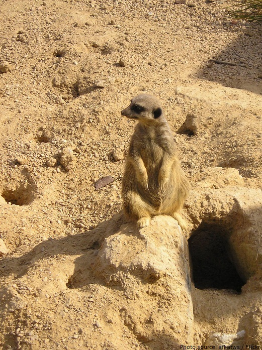meerkat burrows