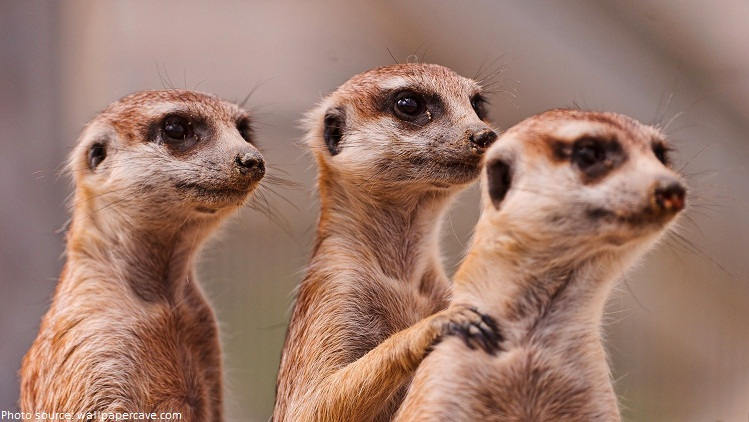 Image result for meerkat