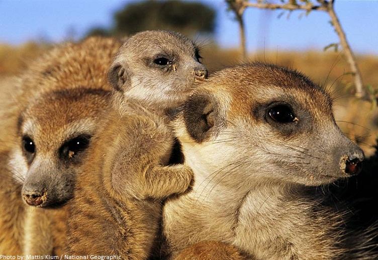 meerkats and baby