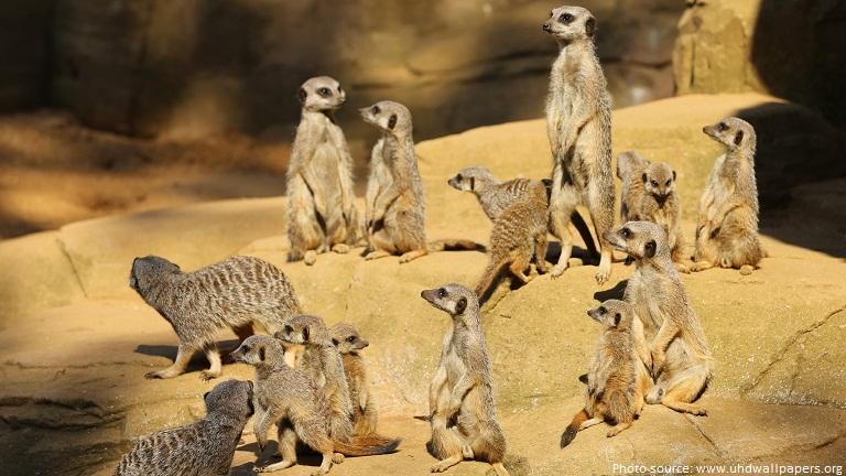 meerkats mob