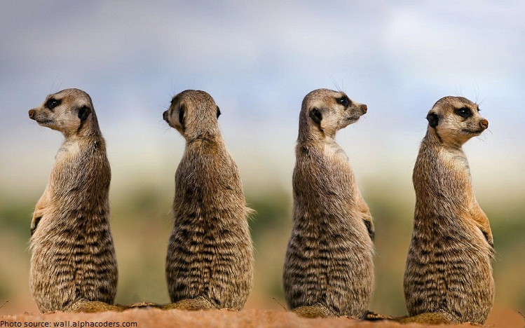 meerkats watch guard