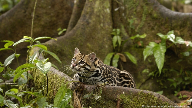 ocelot in nature