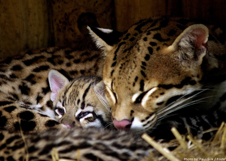 ocelot mother and kitten