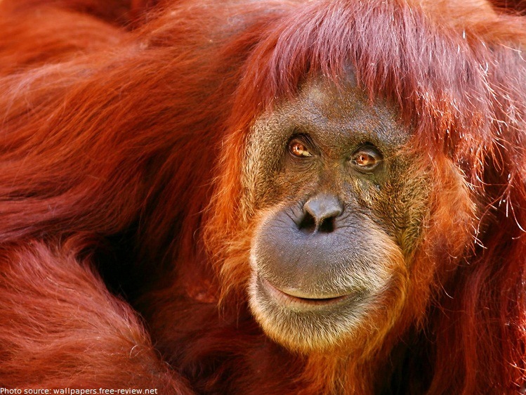 Interesting facts about orangutans | Just Fun Facts