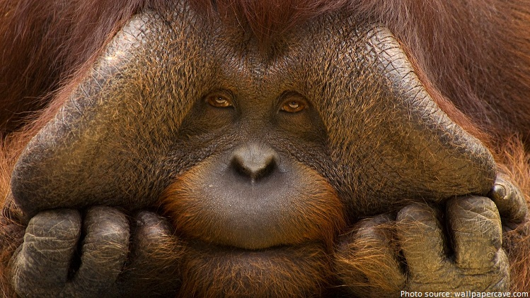 orangutans cheek pads