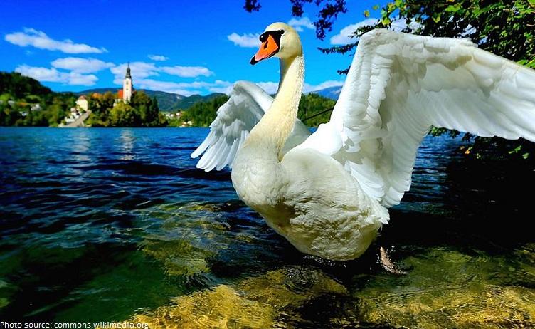 swan on lake bled