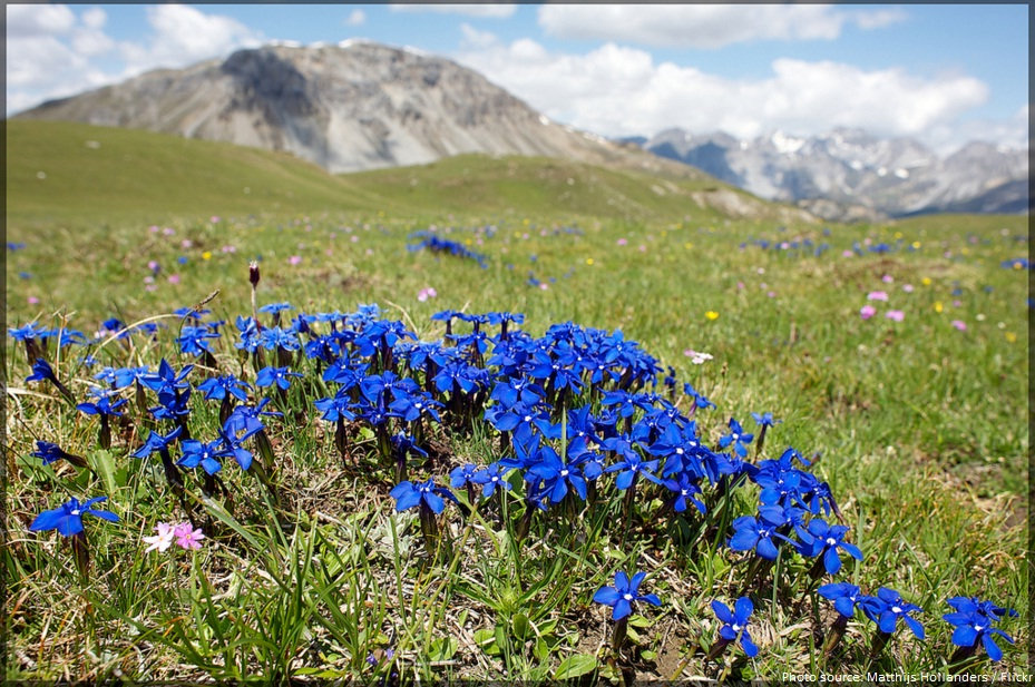 swiss national park flowers
