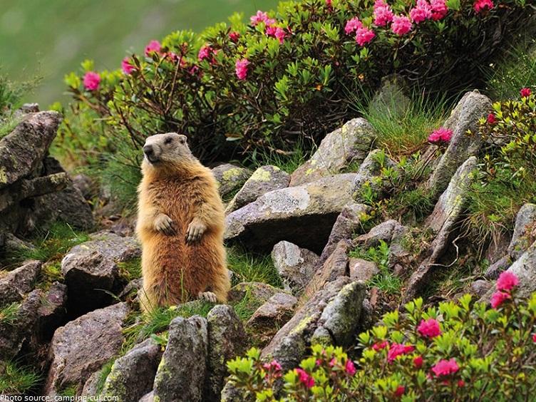 swiss national park marmot