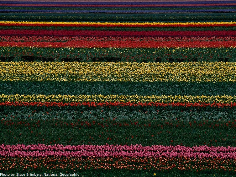 tulip field holland