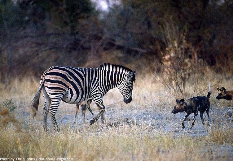 zebra hyenas