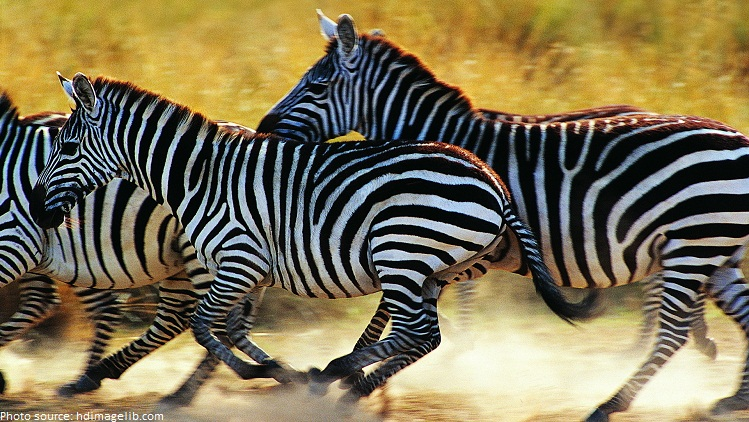 Interesting facts about zebras | Just Fun Facts