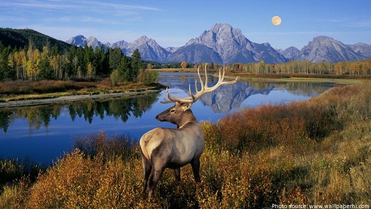 banff national park elk