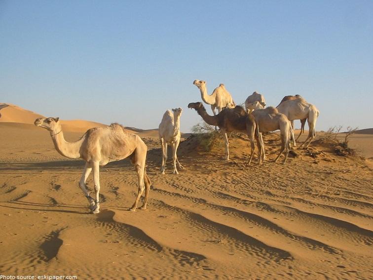 camels-4