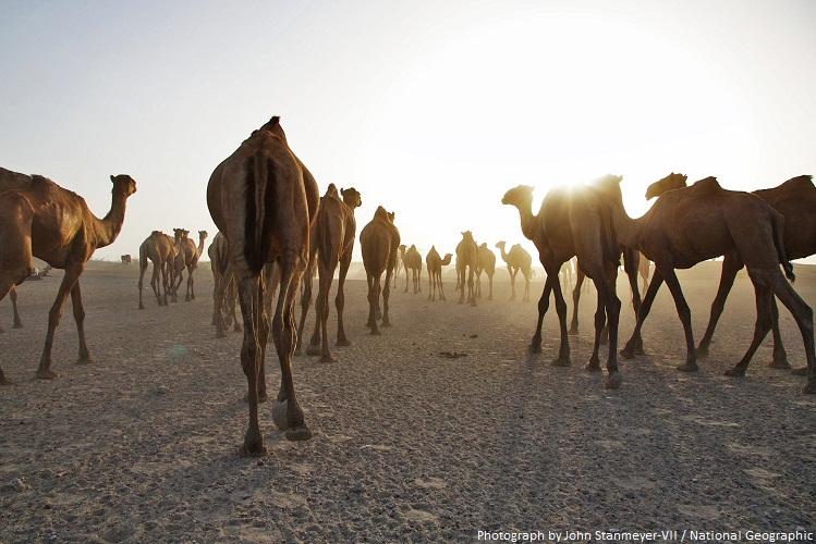 camels herd