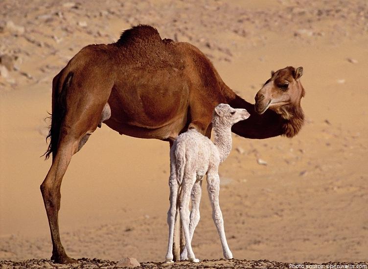 camels mother calf
