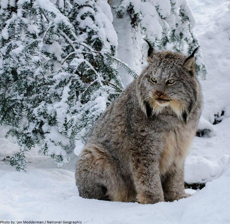 Global analysis of large carnivore habitats