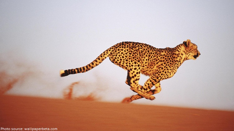 cheetah in desert