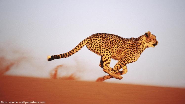 cheetah in desert