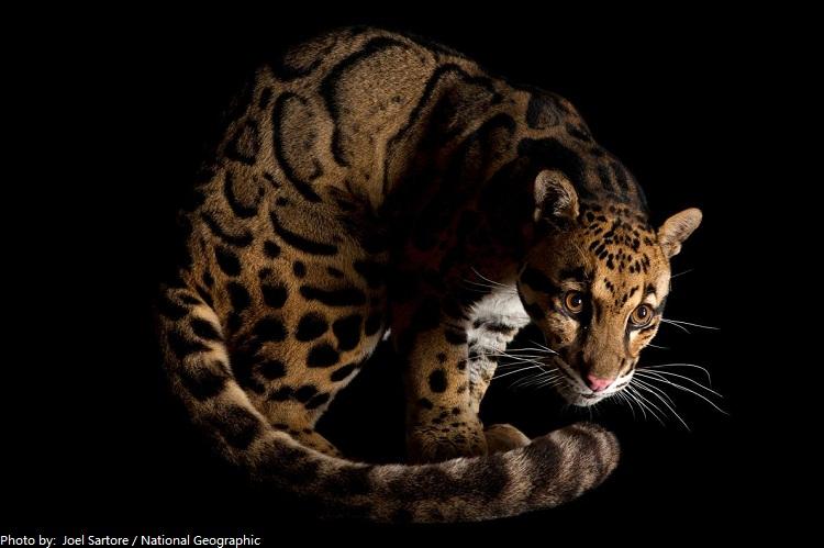 clouded-leopard-3