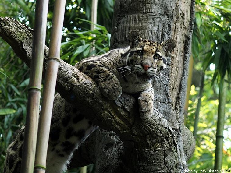 clouded-leopard-6