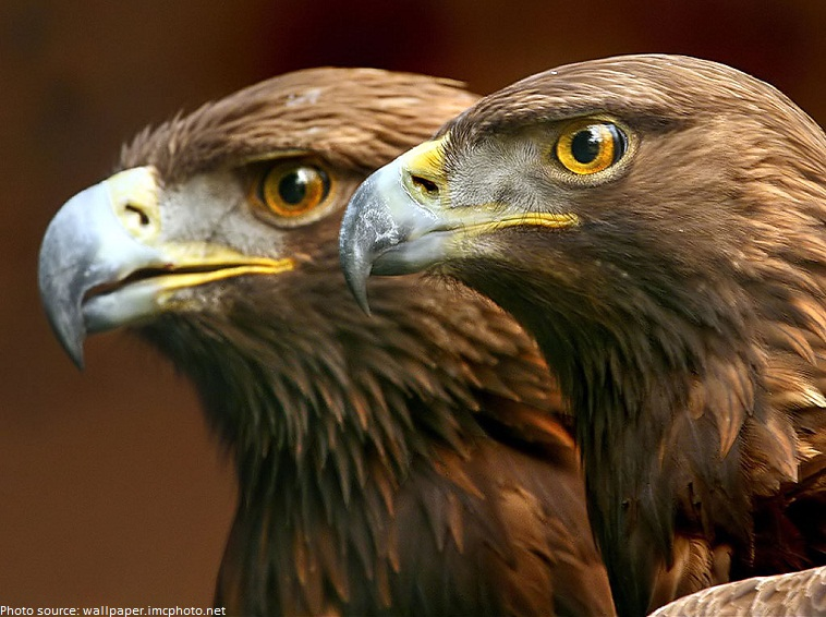 golden eagles pair