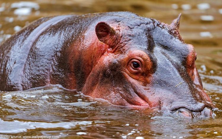 hippo-3