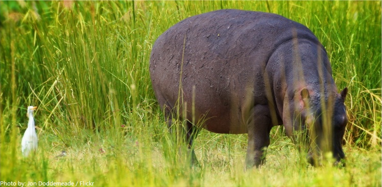 Wild hippo eating grass at Kruger, ... | Stock Photo ... |Hippo Eating Grass