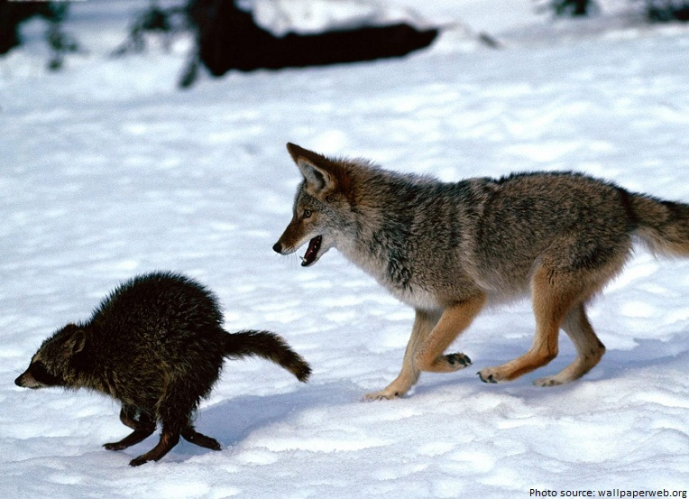 raccoon and coyote