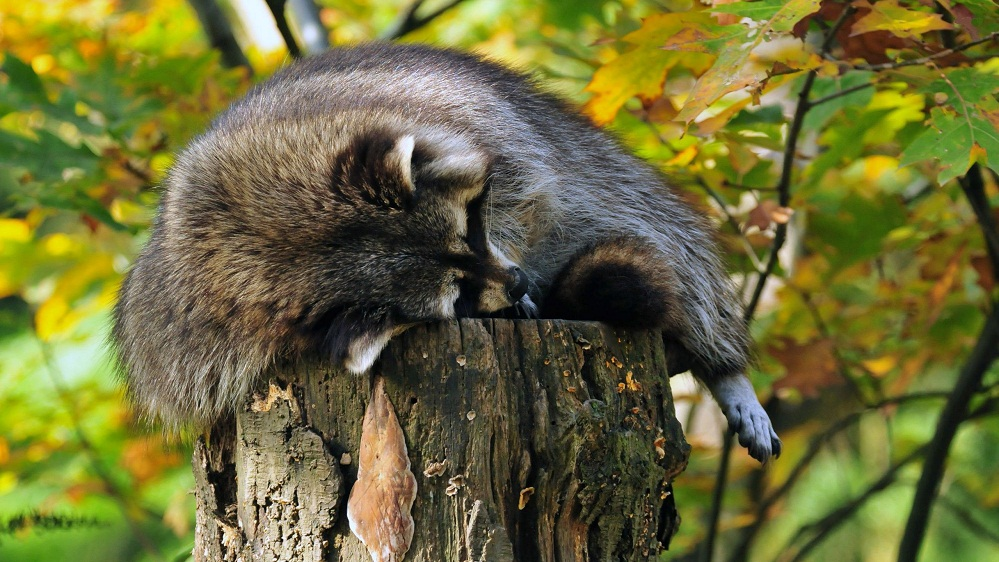 raccoon sleeping