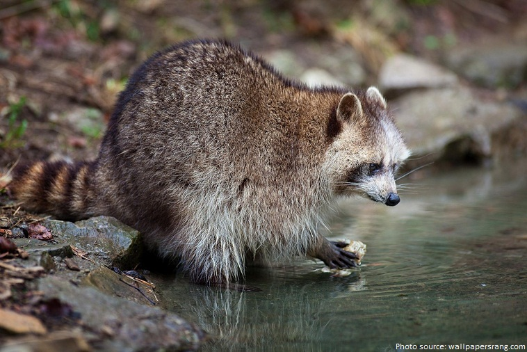 Interesting Facts About Raccoons Just Fun Facts