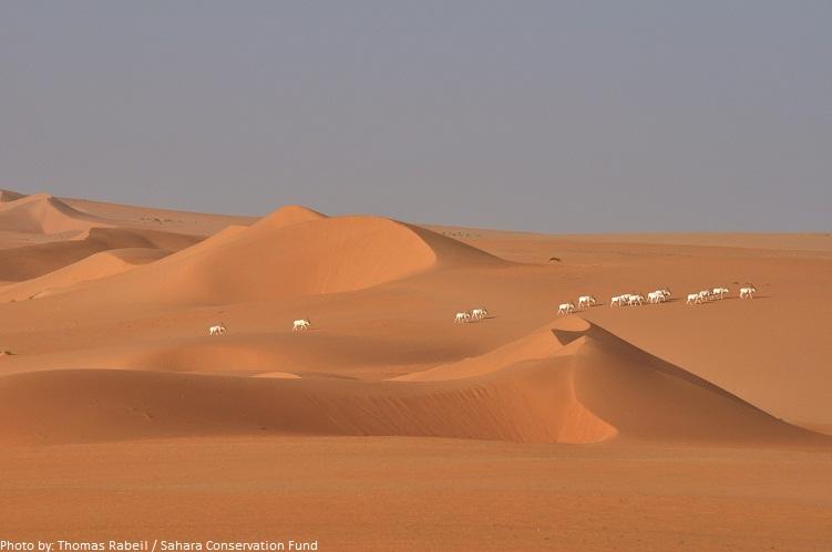 sahara desert addax