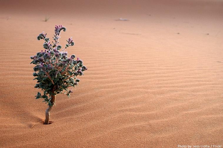 sahara desert flower