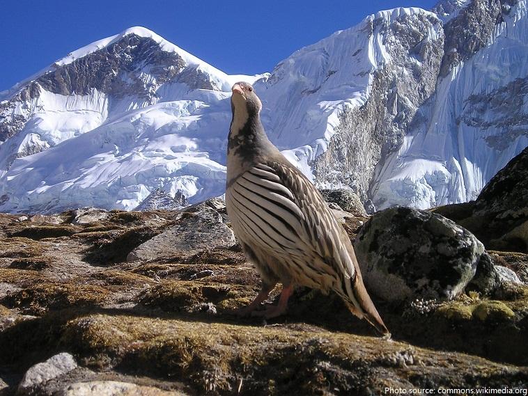 tibetan snowcock