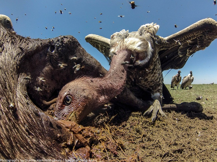 vulture eating carrion