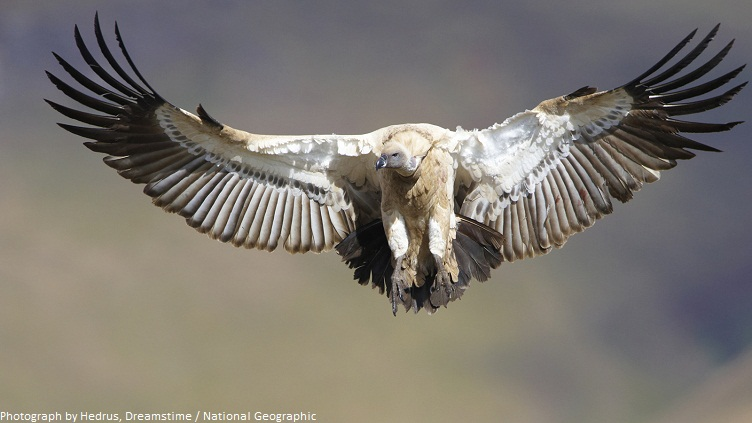 vulture wingspan
