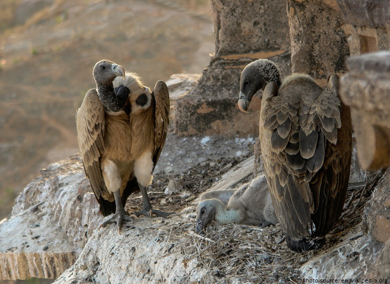 vultures nest chick