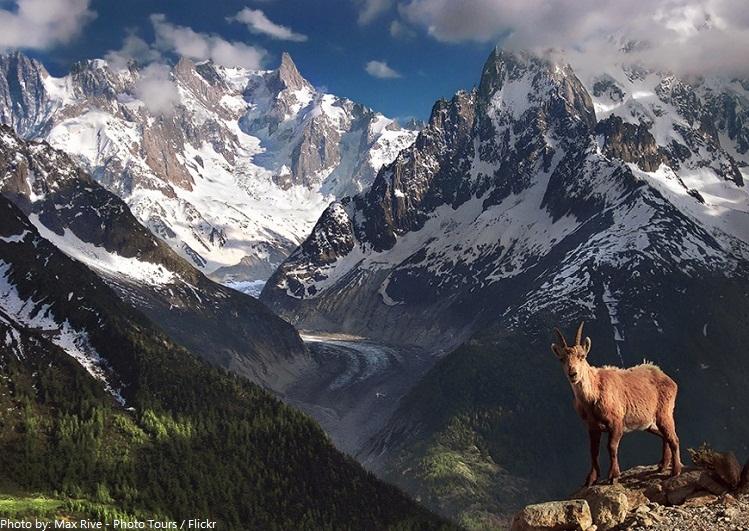 alps ibex