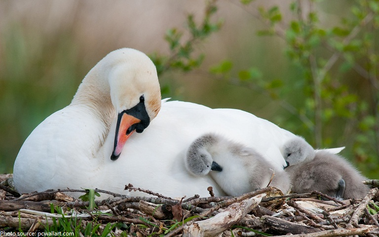 baby swans and mother