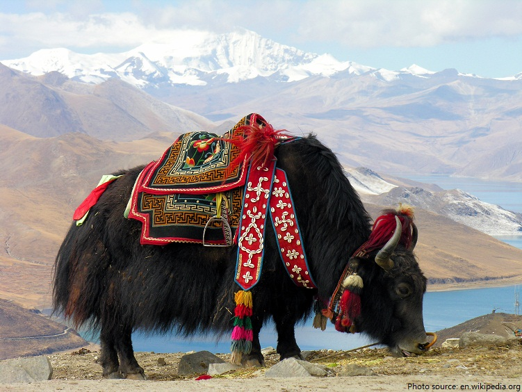 domesticated yak