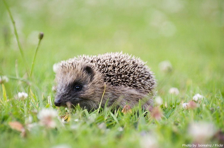 hedgehog baby