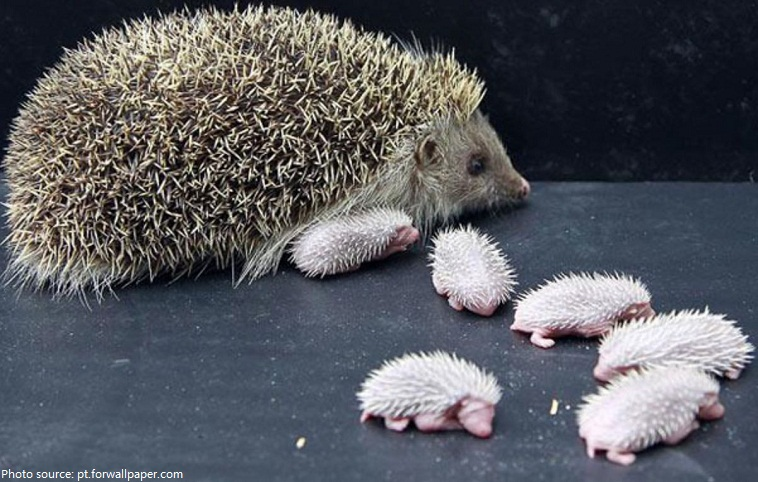 hedgehog mother and babies