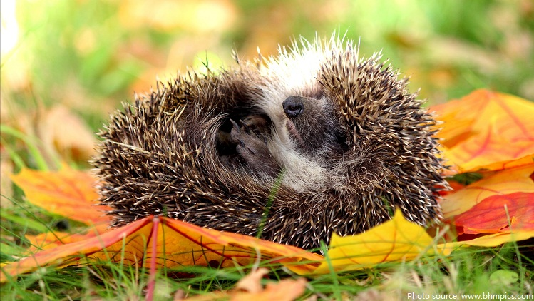 hedgehog sleeping