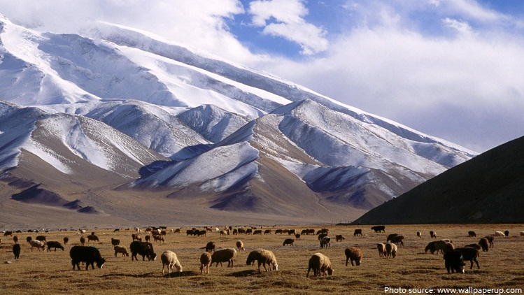 herd of yaks
