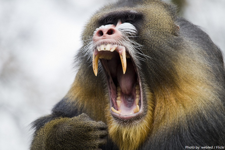 mandrill teeth