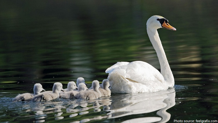 mother swan with young swans