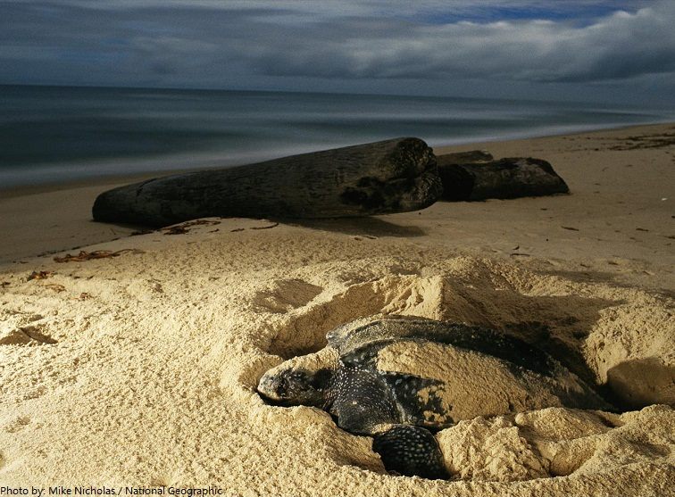 sea turtle digging nest