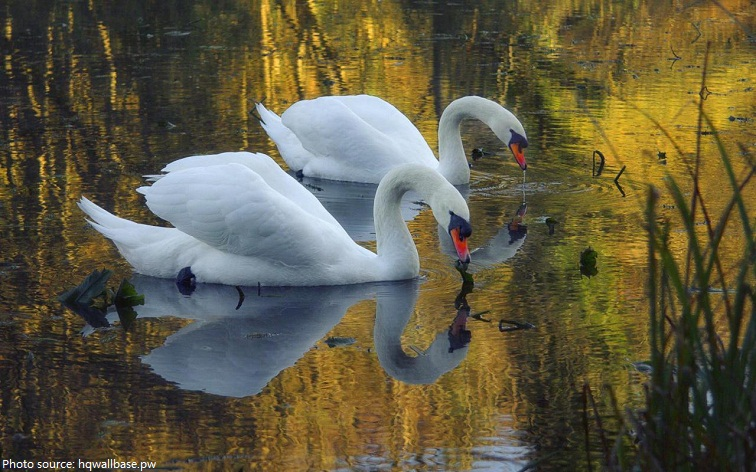 swans eating