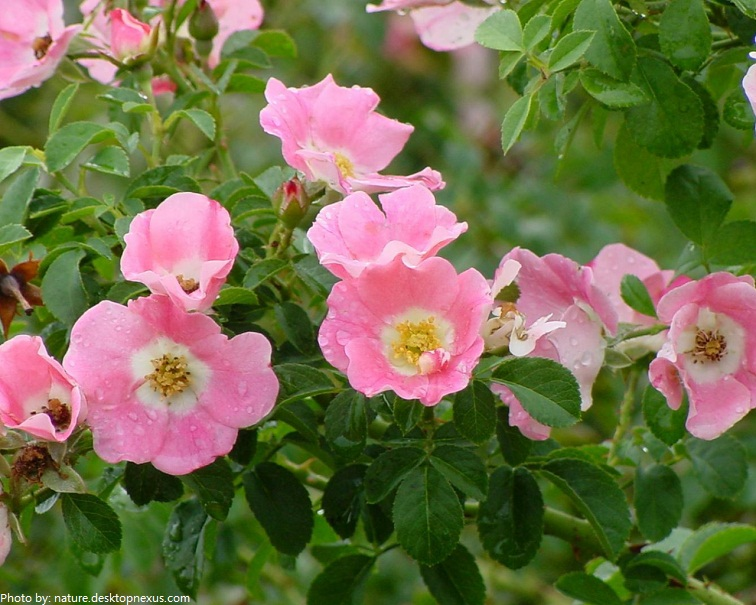 Interesting facts about roses just fun facts wild roses mightylinksfo