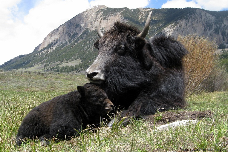 yak mother and cub