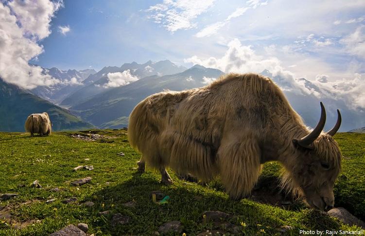 yaks-3
